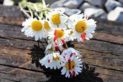 fiori con pedali macchiati di rosso
