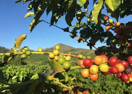 ramo di caffè con drupe rosse