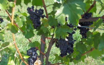 vigneto con grappoli di uva nera